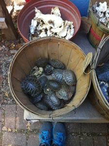 These poor, poor turtles